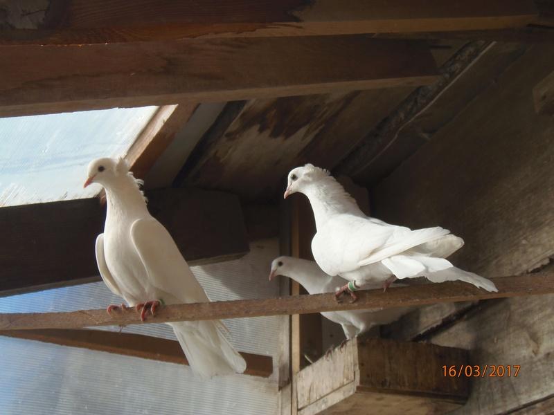 Бакинские голуби - Страница 3 P3160412