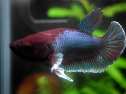Reproduction betta dumbo male pink salamander femelle copper - Page 4 Dsci1810