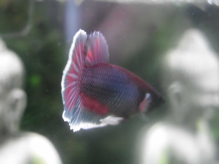 Reproduction betta dumbo male pink salamander femelle copper - Page 4 Dsci1811