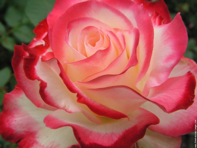 BON ET JOYEUX ANNIVERSAIRE PUTTI Roses-10