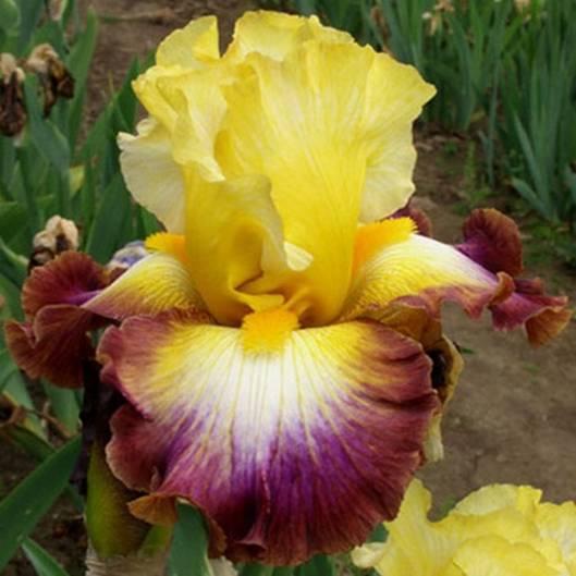 votre plus bel iris - Page 2 Rainbo14