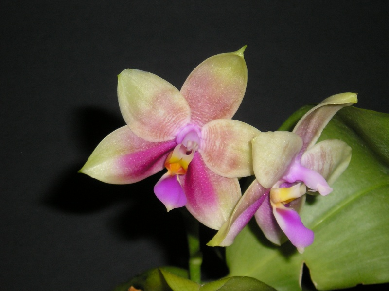 Phalaenopsis amboinensis x bellina  / Guadalupe Pineda - Seite 2 Blate_25