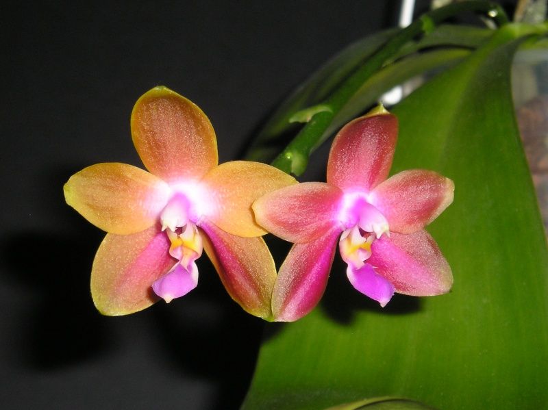 Phalaenopsis violacea x venosa (Penang Girl )  Blate_26