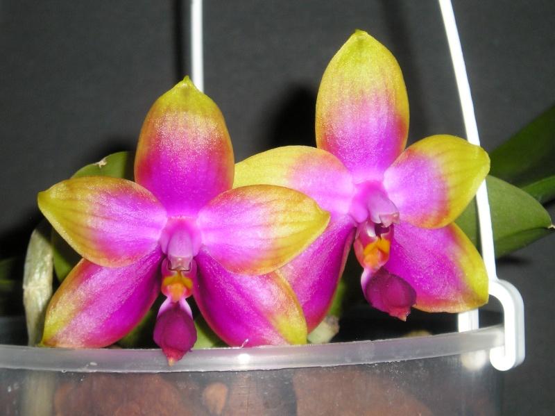 Phalaenopsis violacea x amboinensis (Princess Kaiulani)  Blate_28