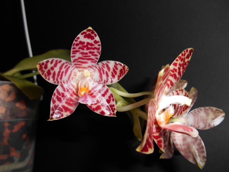 Phalaenopsis amboinensis x gigantea (David Lim) Blate_70