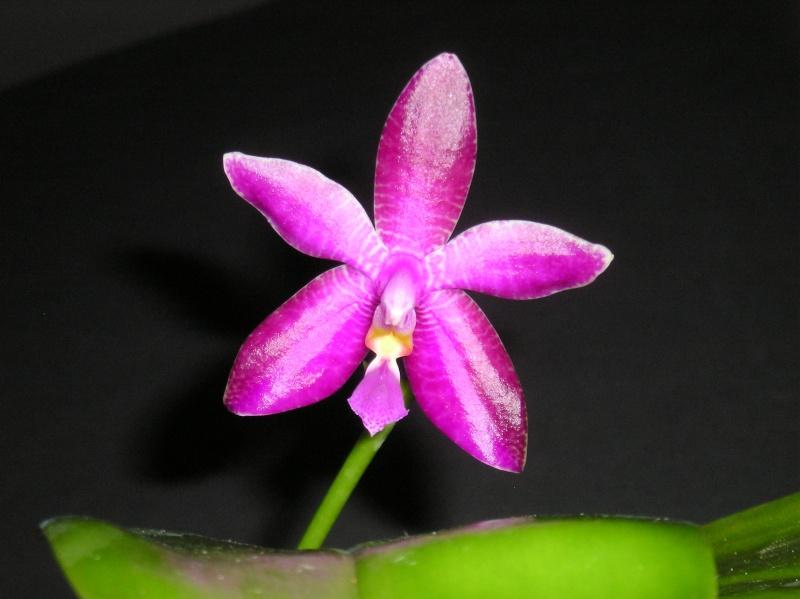 Phalaenopsis violacea x lueddemanniana (Luedde-Violacea) Erstbl16