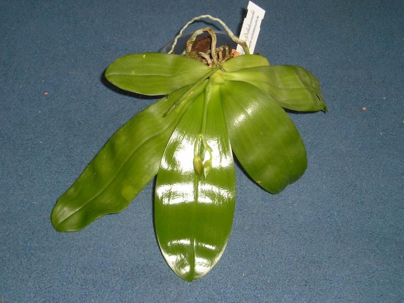 Phalaenopsis violacea x amboinensis (Princess Kaiulani)  Habitu23