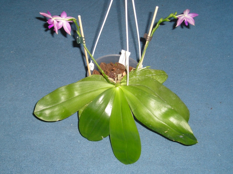 Phalaenopsis tetraspis x violacea (Jennifer Palermo) oder Phal. speciosa x violacea (Germaine Vincent) Habitu25