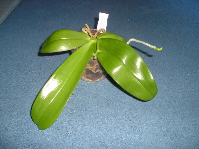 Phalaenopsis  mannii x violacea (Malacea) Habitu28