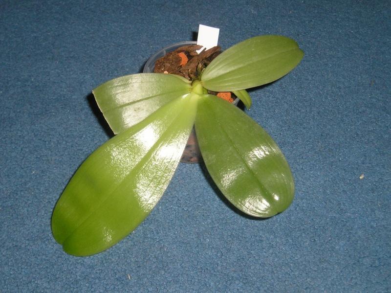 Phalaenopsis bellina x violacea (Samera) Habitu29