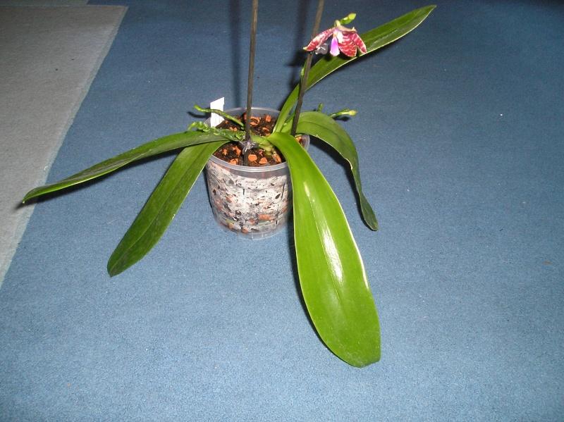 Phalaenopsis tetraspis x lueddemanniana (Telu) Habitu49