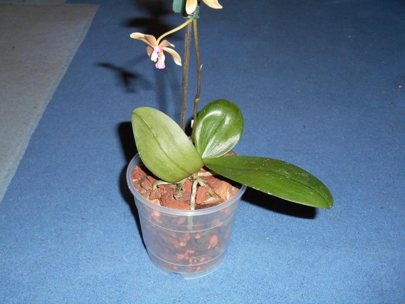 Phalaenopsis mannii x wilsonii (Isabelle Dream) Habitu55