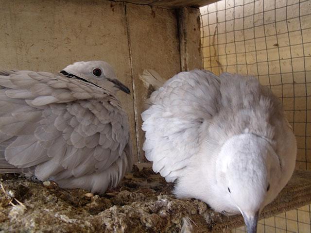 Nouvelles de mes colombes Couple10