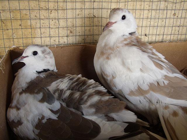 Nouvelles de mes colombes Couple11