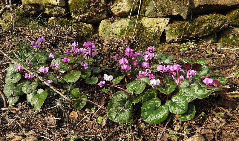 Erste Frühlingsboten im Garten und in Wald und Flur, Teil 2 - Seite 3 Alpenv13