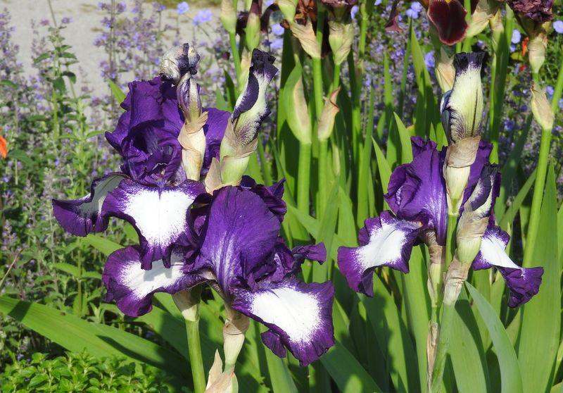 Schwertliliengewächse: Iris, Tigrida, Ixia, Sparaxis, Crocus, Freesia, Montbretie u.v.m. - Seite 28 Iris110