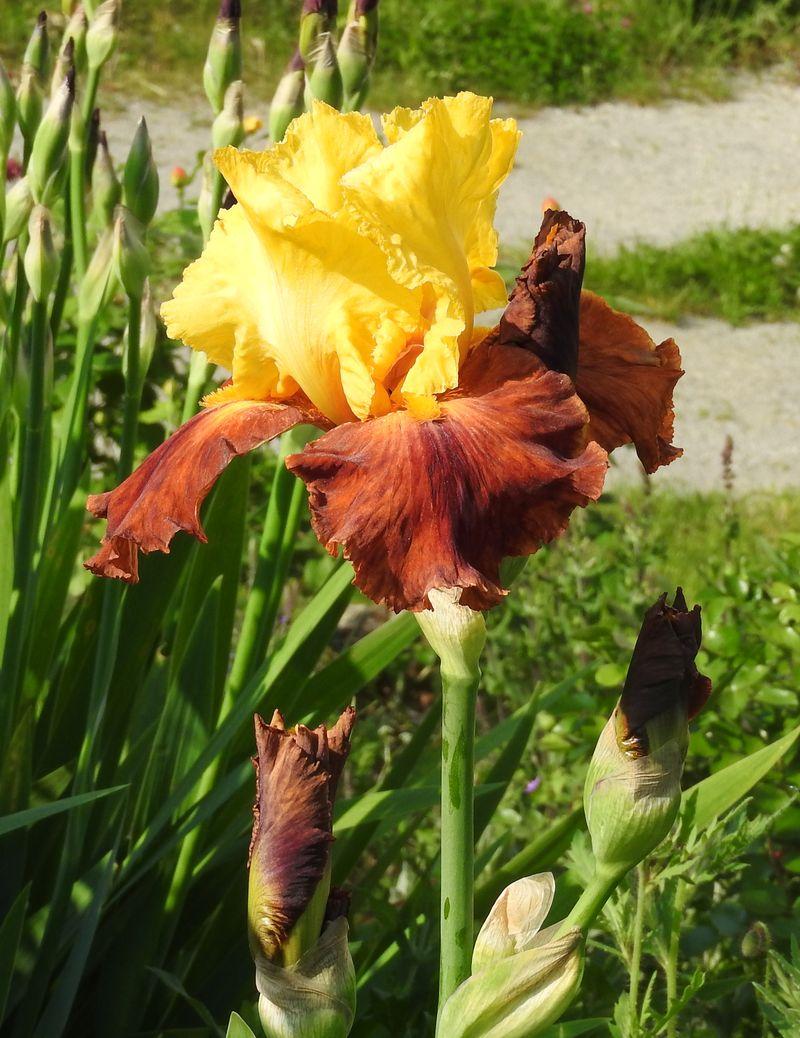 Schwertliliengewächse: Iris, Tigrida, Ixia, Sparaxis, Crocus, Freesia, Montbretie u.v.m. - Seite 28 Iris211