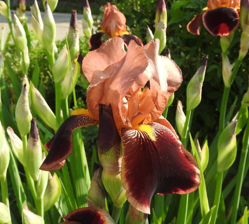 Schwertliliengewächse: Iris, Tigrida, Ixia, Sparaxis, Crocus, Freesia, Montbretie u.v.m. - Seite 28 Iris311