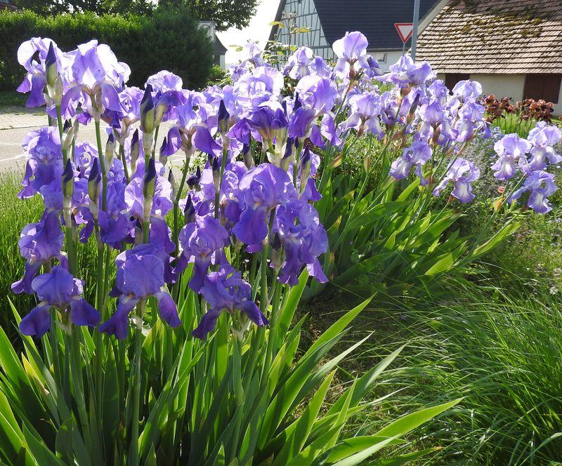 Schwertliliengewächse: Iris, Tigrida, Ixia, Sparaxis, Crocus, Freesia, Montbretie u.v.m. - Seite 28 Iris410