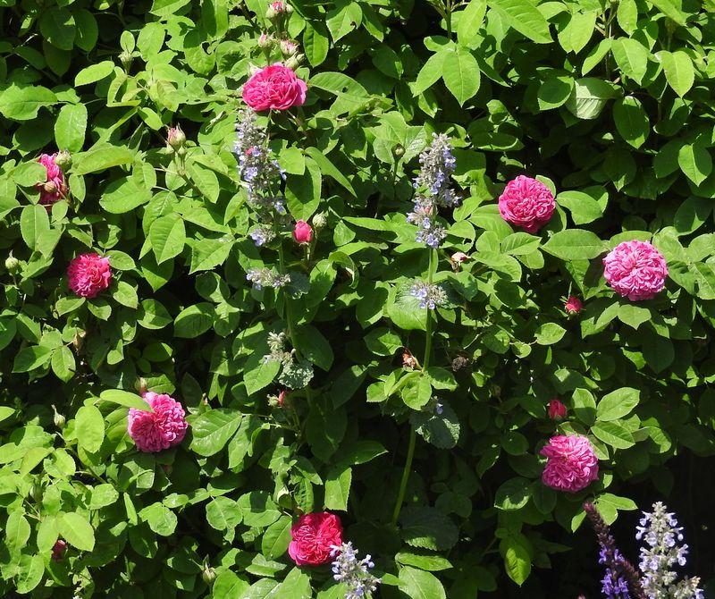 """Rosen - ein Thread für die """"Königin"""" - Seite 14 Rose-d10"""