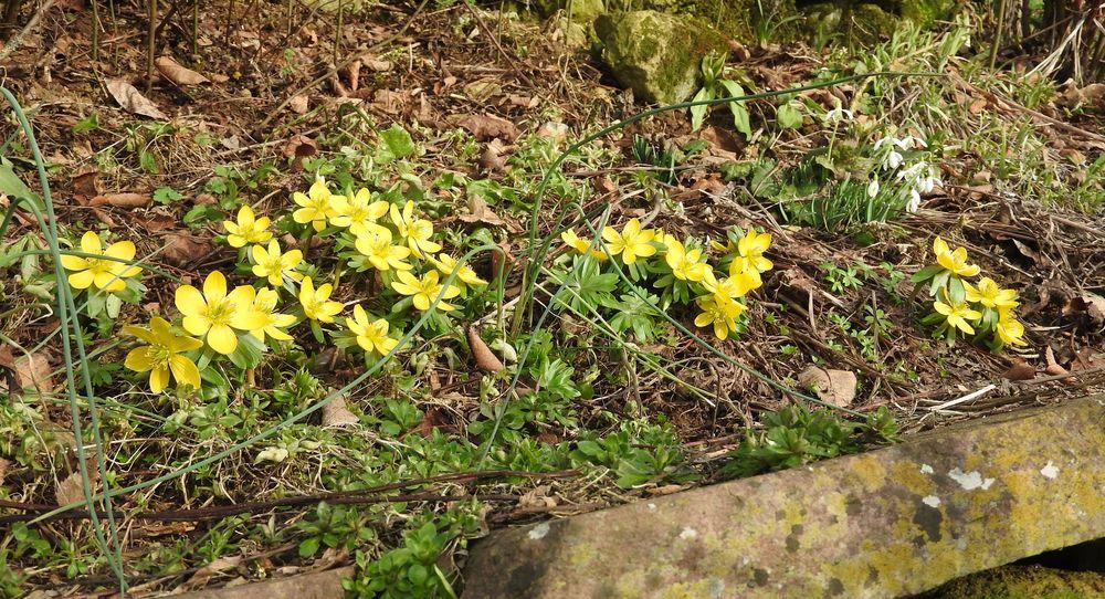 Erste Frühlingsboten im Garten und in Wald und Flur, Teil 2 - Seite 3 Winter13