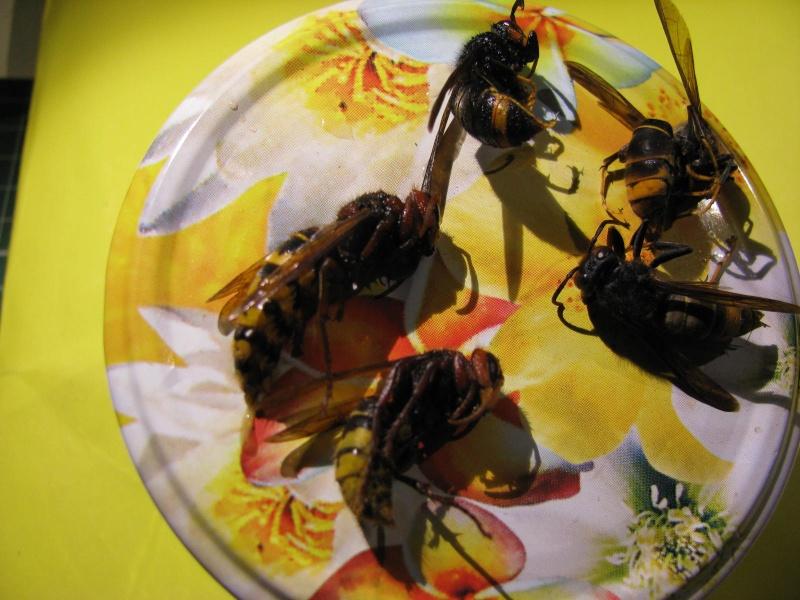 frelon crabro local et frelon VV  ou frelon asiatique Img_6910
