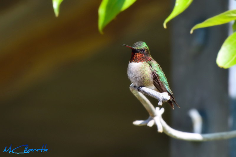 Colibri en pause 16211