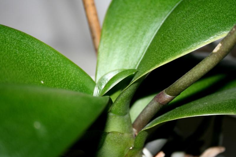 Neues Blatt wächst nicht weiter  Orchid11