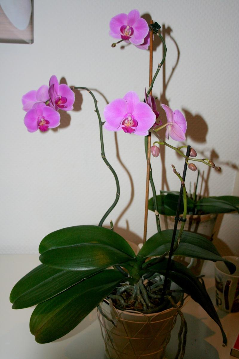 Neues Blatt wächst nicht weiter  Orchid13