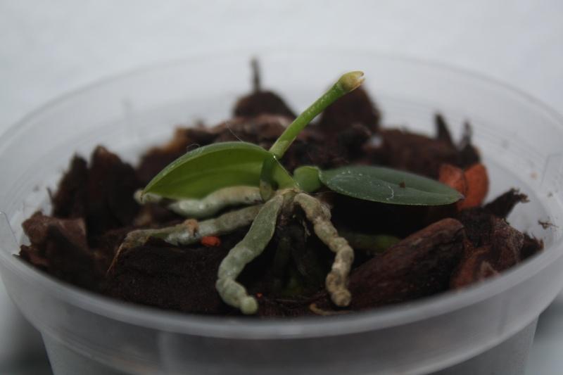 Phalaenopsis lobbii var. vietnamica Img_5711