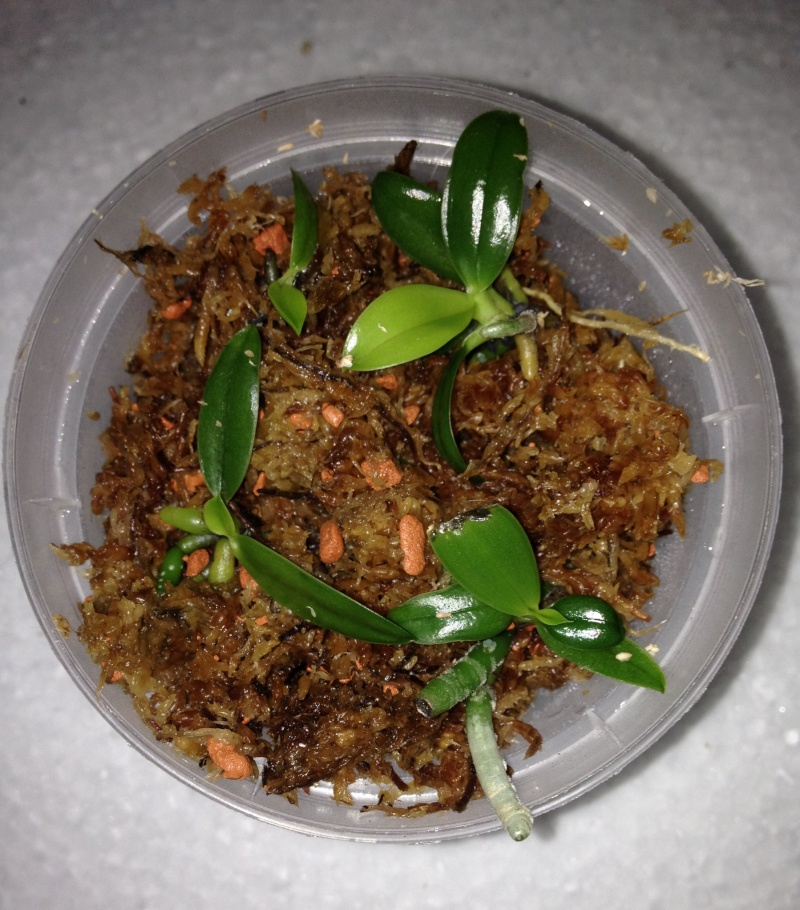 Phalaenopsis pallens Pallen10