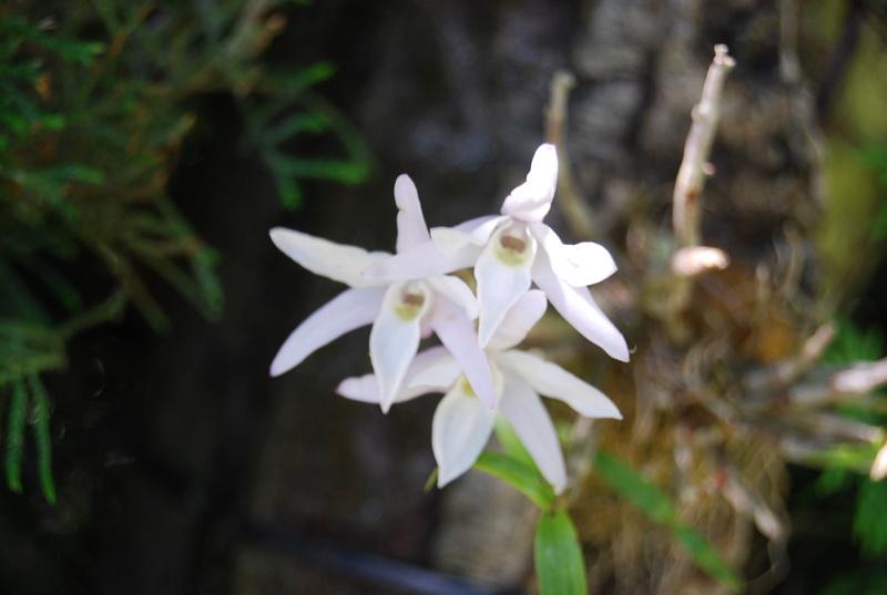 Peut-on sortir des orchidées semi-rustiques dès avril ? Dsc_0211