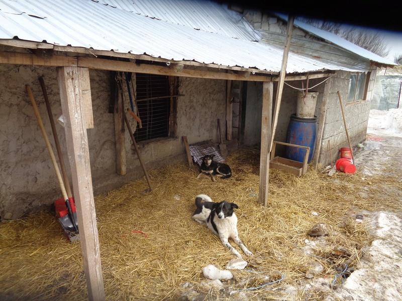 GAYA- femelle noire et blanche née en 2013- parrainée par Skara - SC-SOS-R- - Page 3 16836210