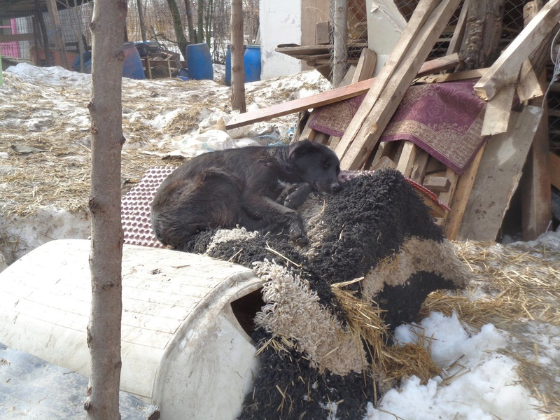 MAMBO, mâle croisé berger né mi Juin 2016 - SAUVE ÉQUARRISSAGE DE PALLADY - PARRAINE CORINA59 -R-SOS-SC 16836512