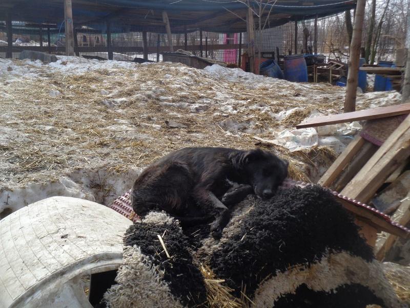 MAMBO, mâle croisé berger né mi Juin 2016 - SAUVE ÉQUARRISSAGE DE PALLADY - PARRAINE CORINA59 -R-SOS-SC 16991510