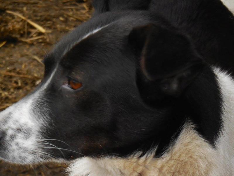 GAYA- femelle noir et blanc née en 2013- parrainée par Skara - SC-SOS-R- - Page 3 17239712