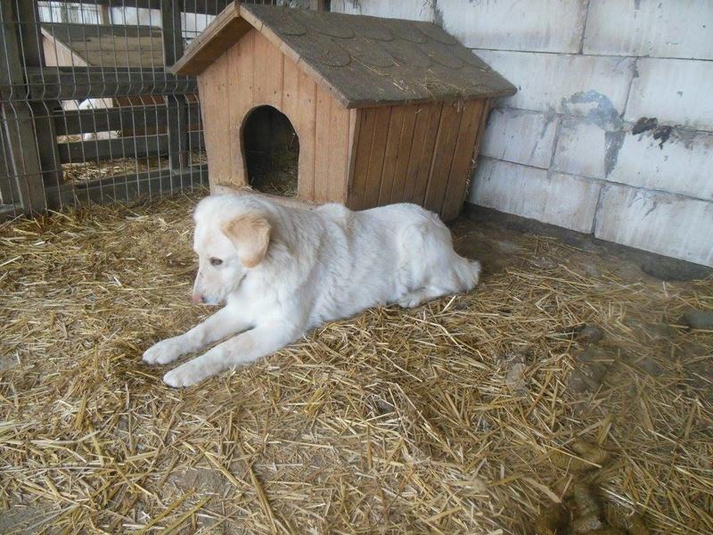 BALANUCH, mâle croisé berger sauvé de Pallady, né en 2009 parrainé par Nathalie G. -Gage Coeur  Myri_Bonnie-SC-R-SOS- 17350011