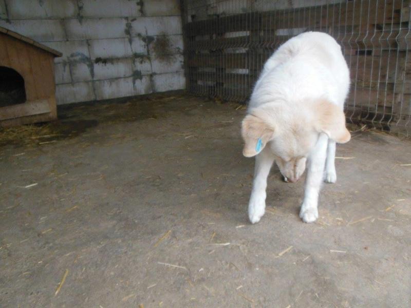 BALANUCH, mâle croisé berger sauvé de Pallady, né en 2009 parrainé par Nathalie G. -Gage Coeur  Myri_Bonnie-SC-R-SOS- 17359011