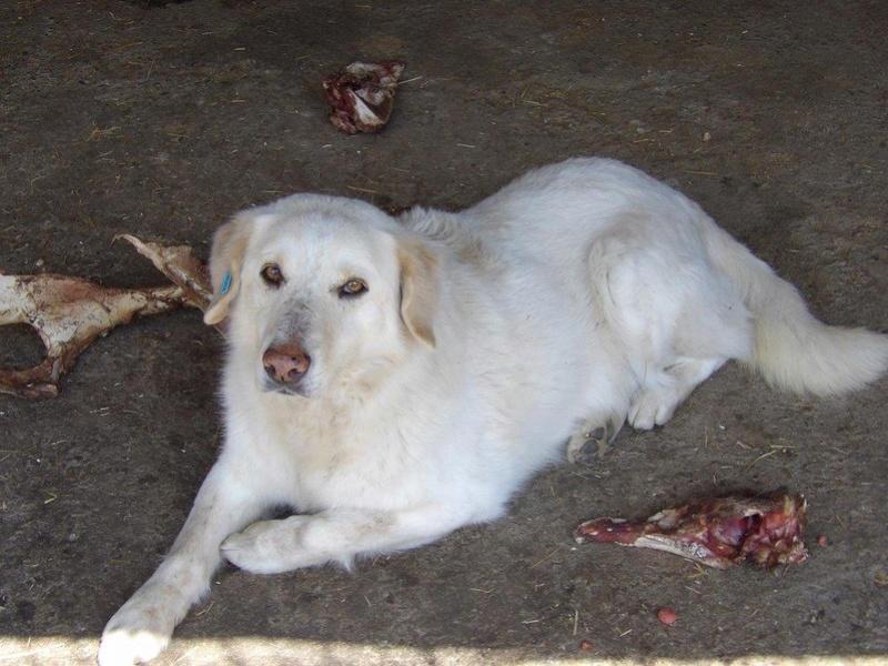 BALANUCH, mâle croisé berger sauvé de Pallady, né en 2009 parrainé par Nathalie G. -Gage Coeur  Myri_Bonnie-SC-R-SOS- 17833910