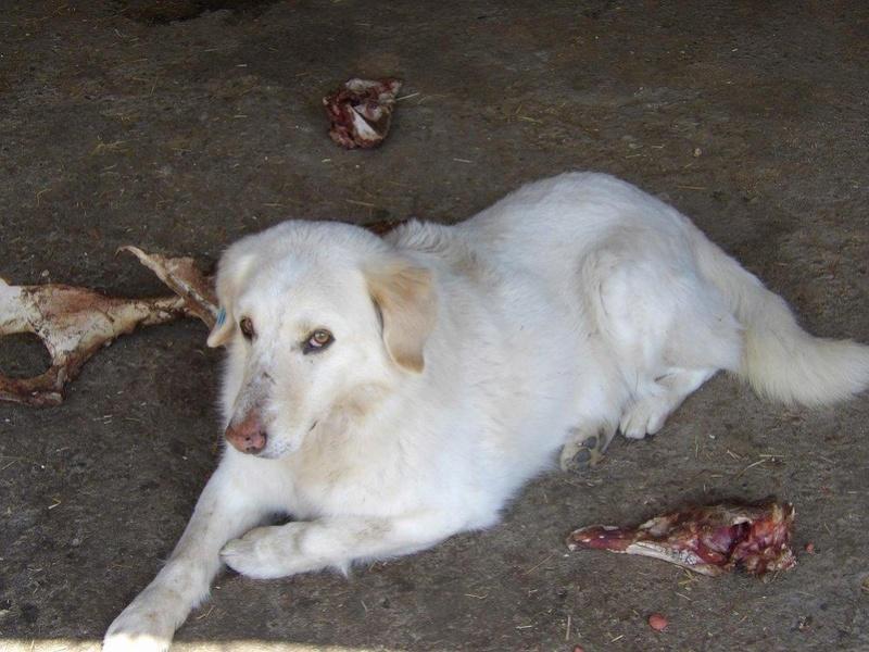 BALANUCH, mâle croisé berger sauvé de Pallady, né en 2009 parrainé par Nathalie G. -Gage Coeur  Myri_Bonnie-SC-R-SOS- 17973410