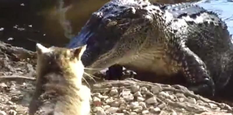 Caïman, le chat qui dompte les alligators 67364210