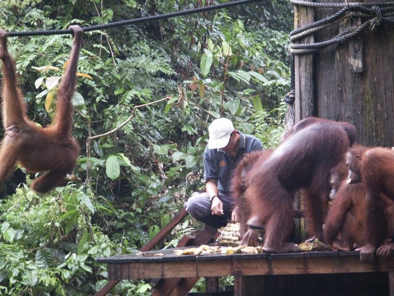 Les orang-outans - Bornéo Borneo11