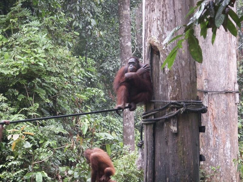 Les orang-outans - Bornéo Borneo12