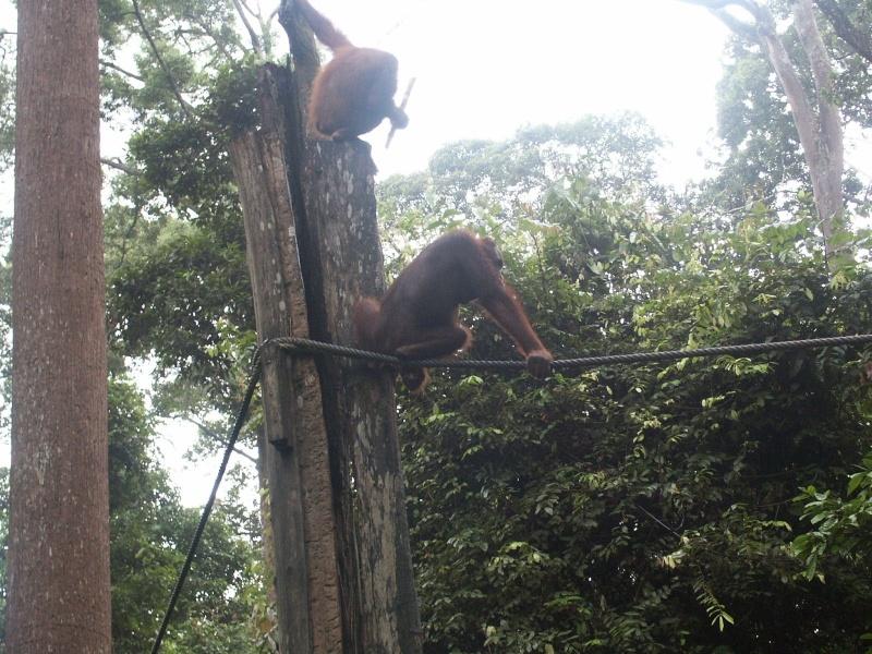 Les orang-outans - Bornéo Borneo13