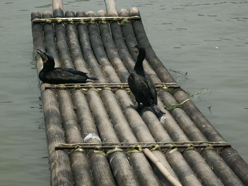 Le pêcheur aux cormorans - Chine Chine011