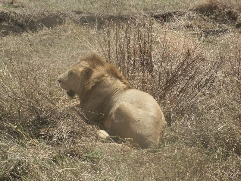 le roi lion - Tanzanie Tanzan12