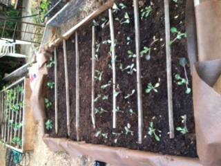 Central California: Just planted my winter garden starts yesterday Photo_13