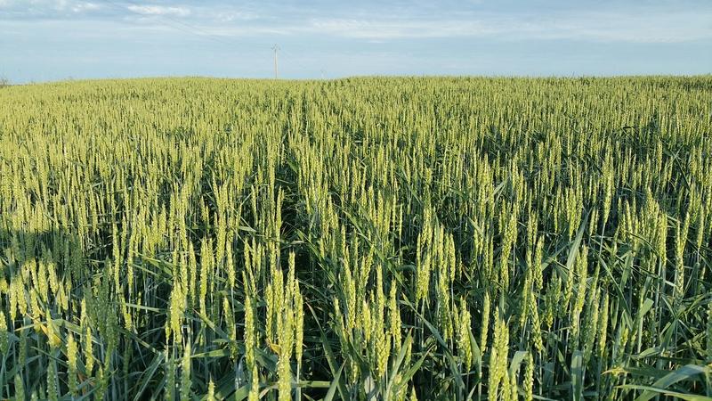 suivi des blés tendre 2017 - Page 8 20170610