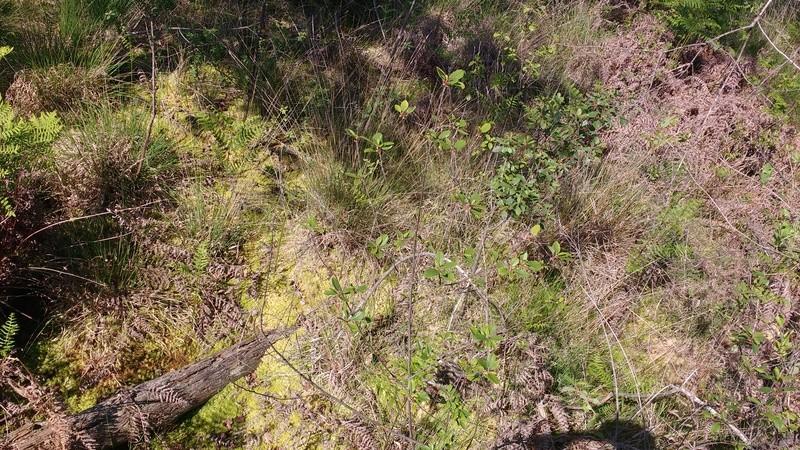 Le plaisir des Drosera sauvages (presque) dans son jardin ! Img_2032