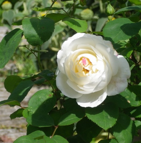 Rosa 'Winchester Cathedral' !!! - Page 2 03052028